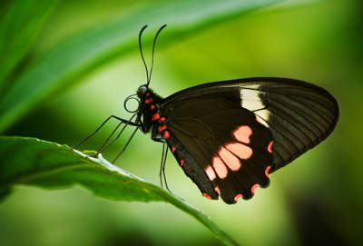 Montane Longwing (Heliconius clysonymus)