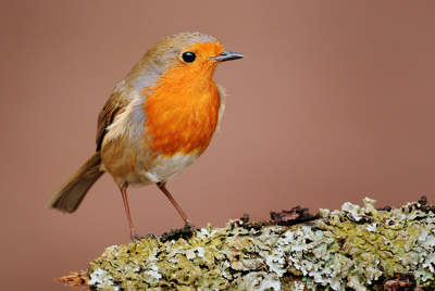 Robin on lichen